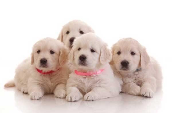 планирование сроков вязки собак