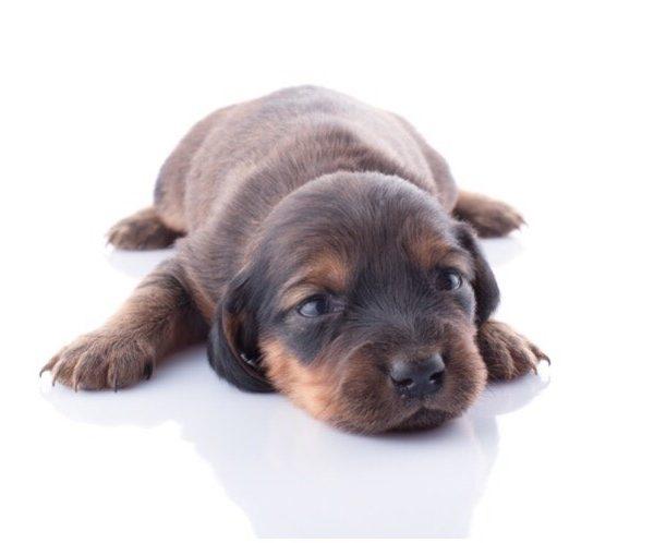 рода у собаки