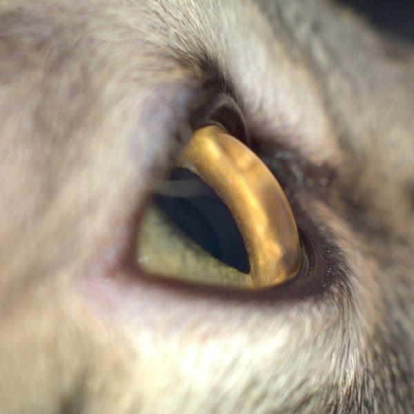 язва роговицы глаза у кошки